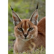 Diy Diamond Embroidery Caracal Cat Diamond Painting Rhinestone Painting Cross Stitch Needlework Home..
